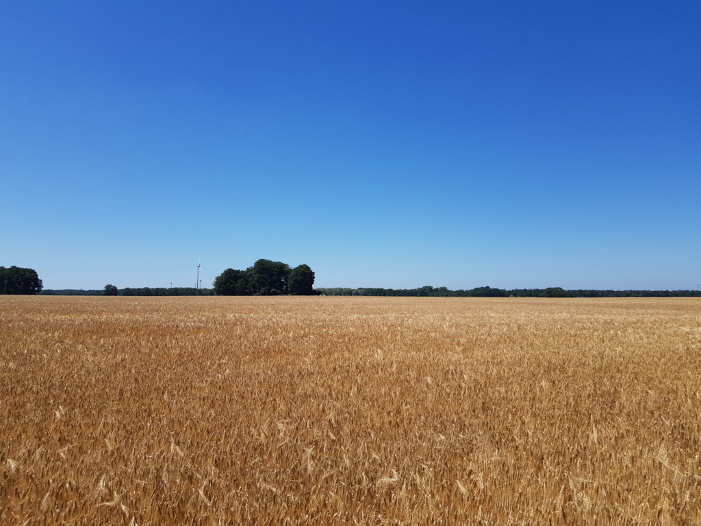 Weizenfeld entlang der Fahrradtour