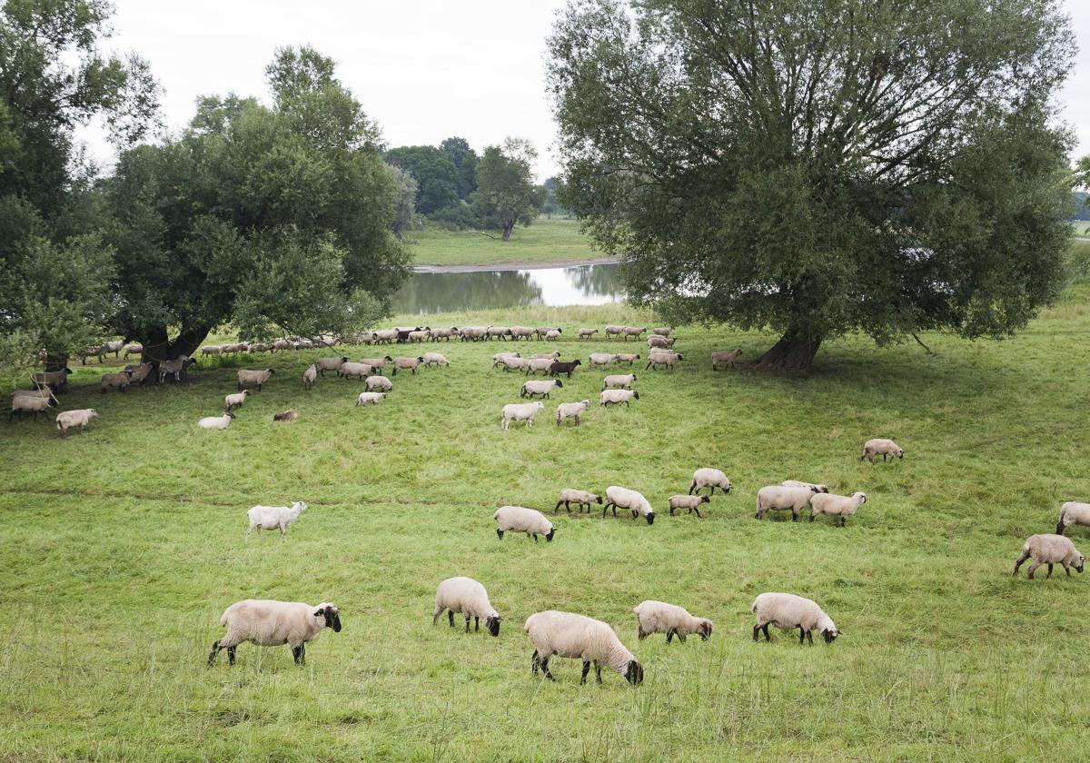 Schafsherde in Natur