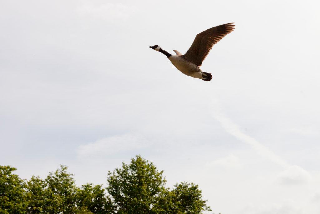 Gans im Flug als Sinnbild für Freiheit