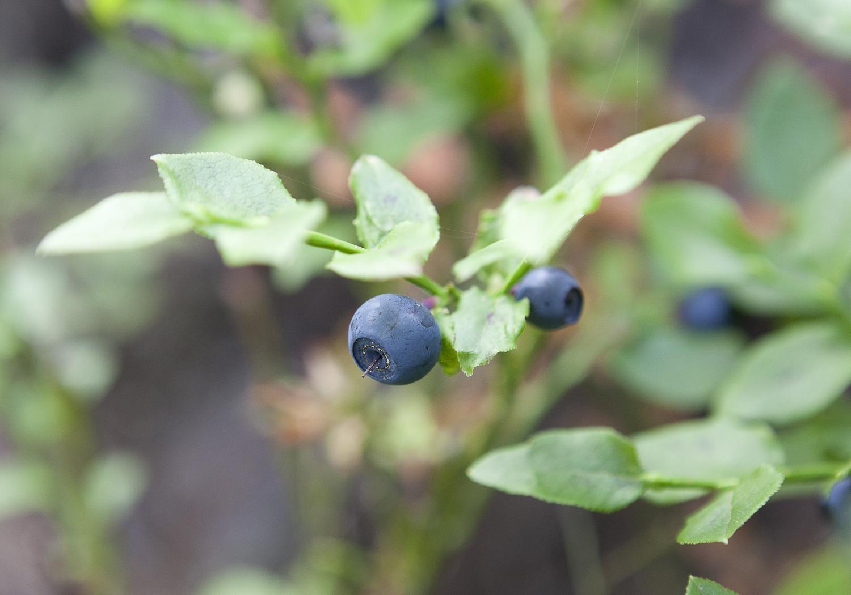 Heidelbeerstrauch als Sinnbild für Früchte ernten
